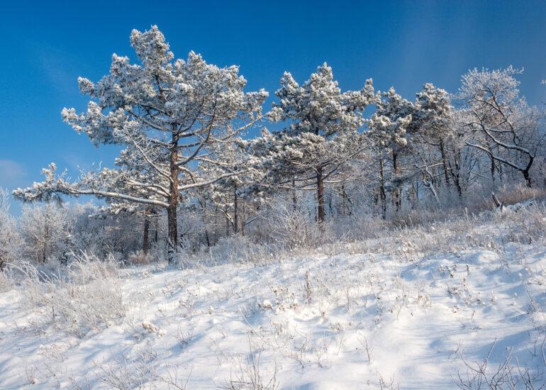 Сосни в снігу