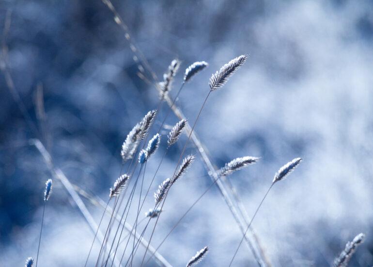 Зимові колоски