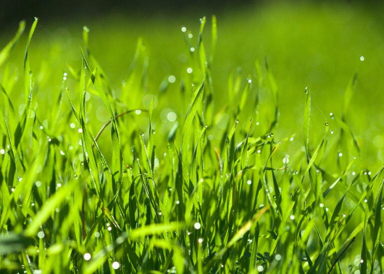 Соковиті трави