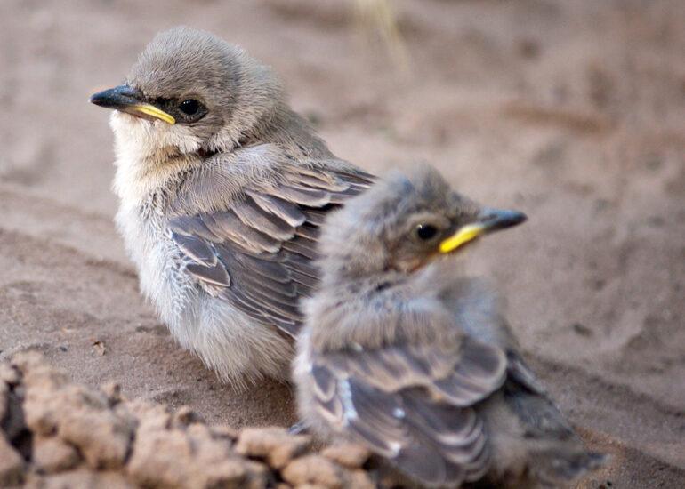 Пташенята