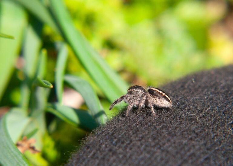 Крихітний павучок