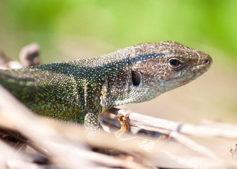 Зелена ящірка