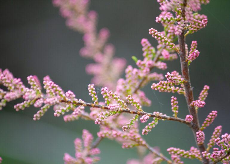 Рожеві гілочки