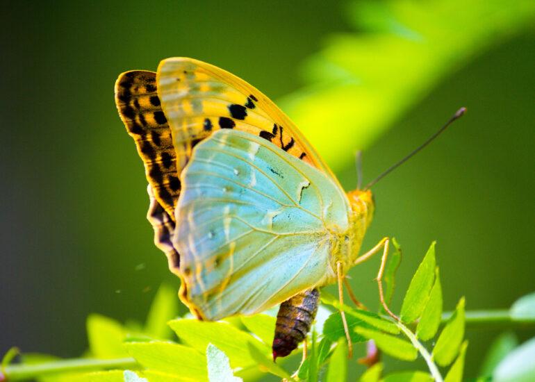 Найбільший з метеликів
