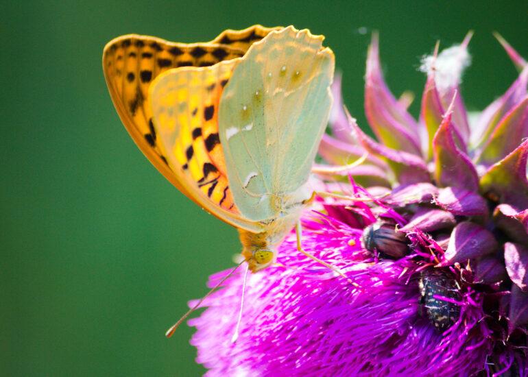 Пандора на квітці