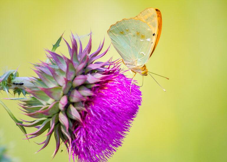 Обід метелика