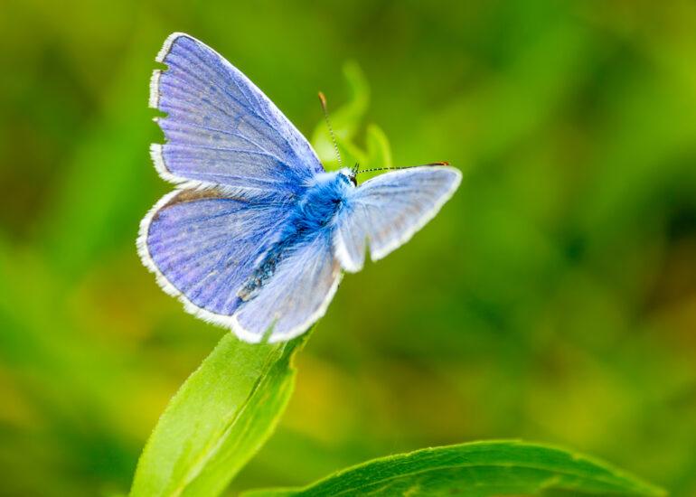 Блакитний красень
