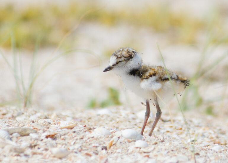 Пташенятко малого пісочника