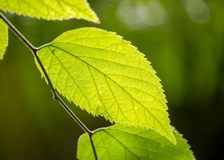 Соковите листя