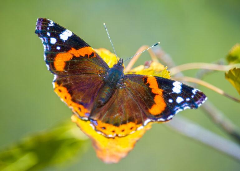 Метелик Адмірал